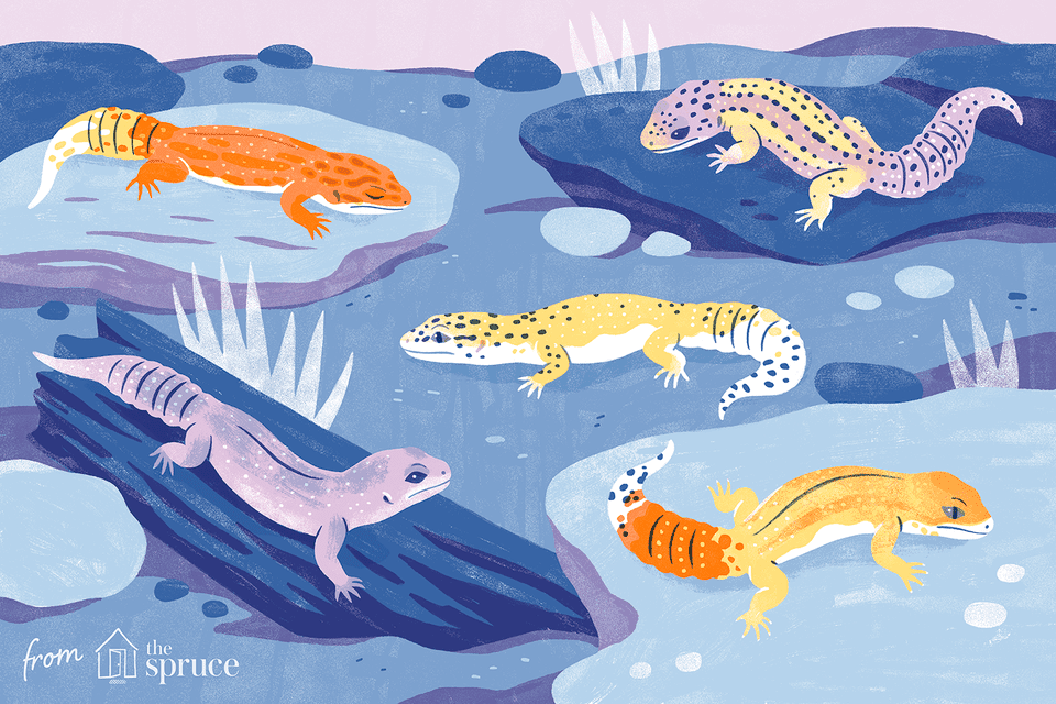 different colors of leopard geckos illustration