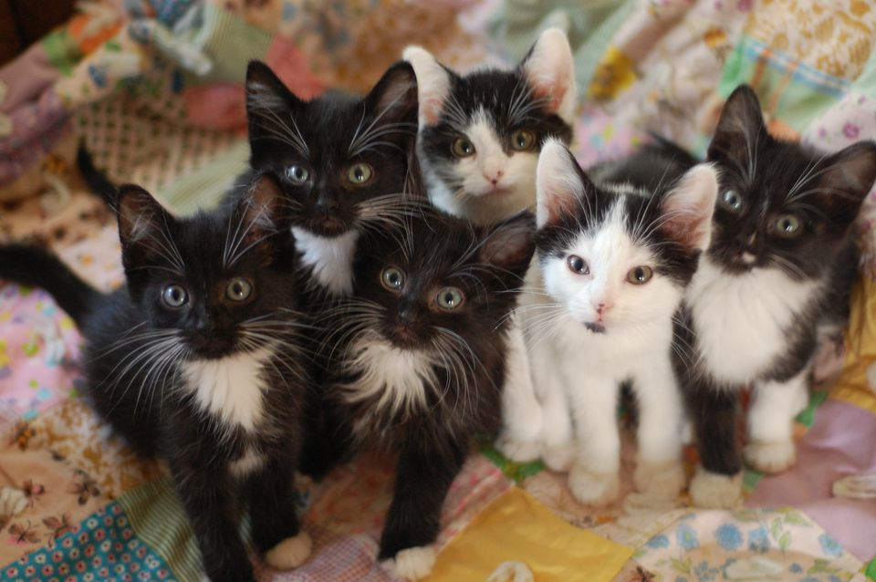 Group of tuxedo kittens looking up at the camera