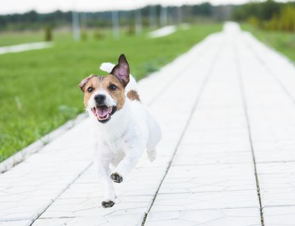Happy dog running by alley at summer park on camera