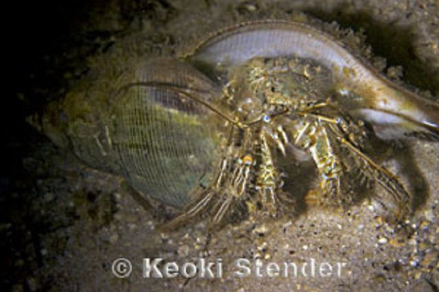 Green Striped Hermit Crab (Clibanarius vittatus)