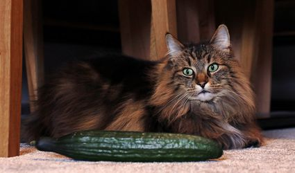 A long-haired cat with a cucumber