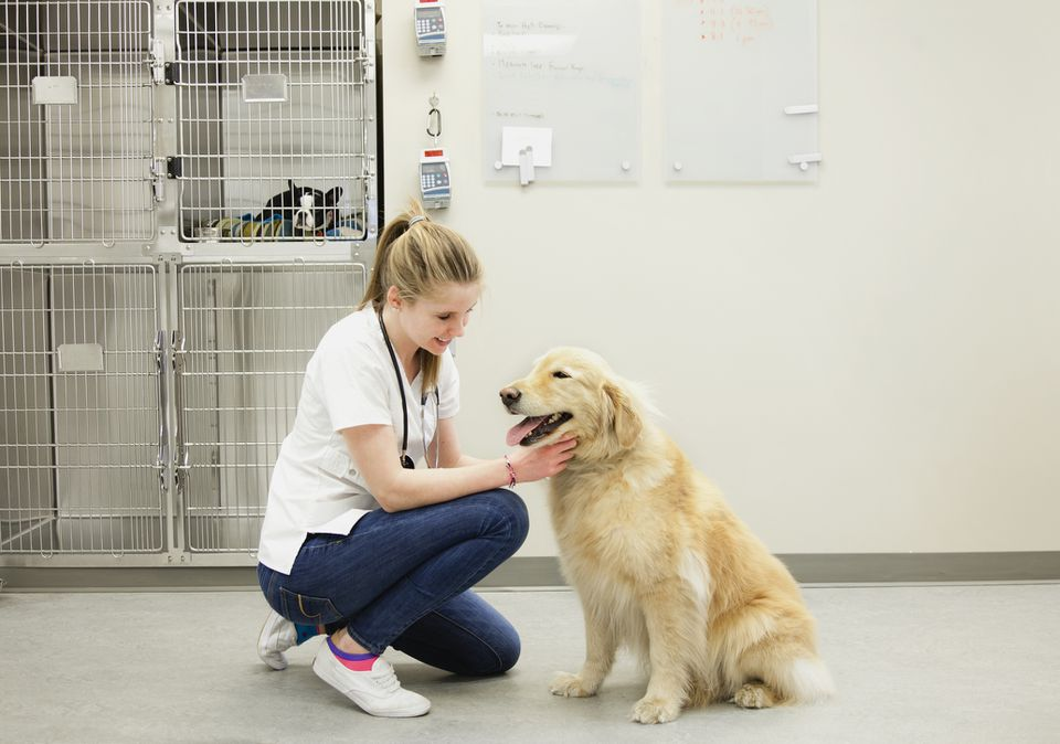 Veterinario femenino con Golden Retriever