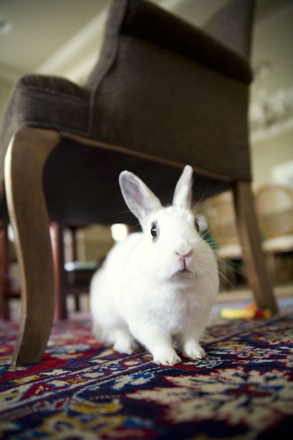 Rabbit under armchair on a rug