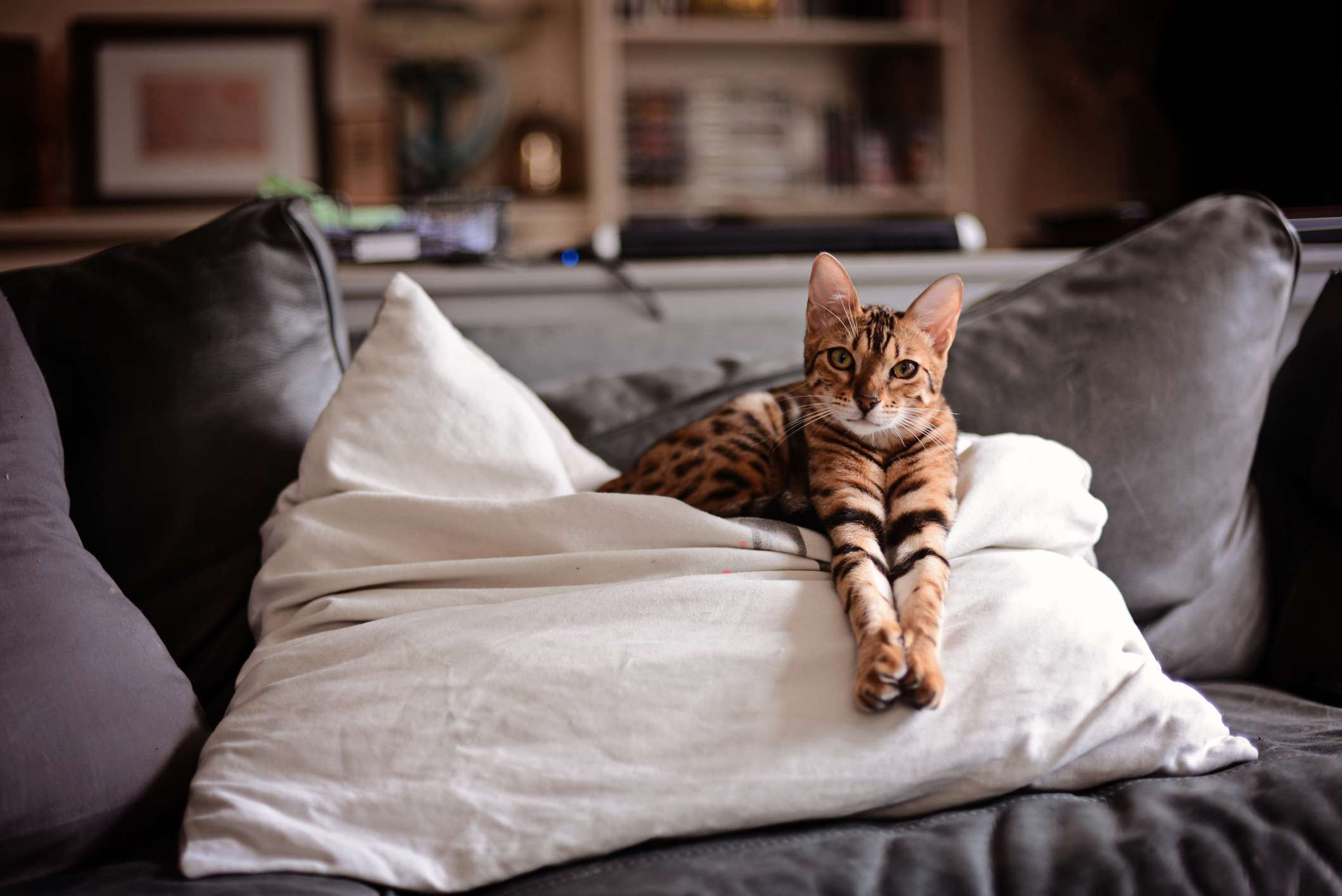 A leopard-like house cat laying on pillows.