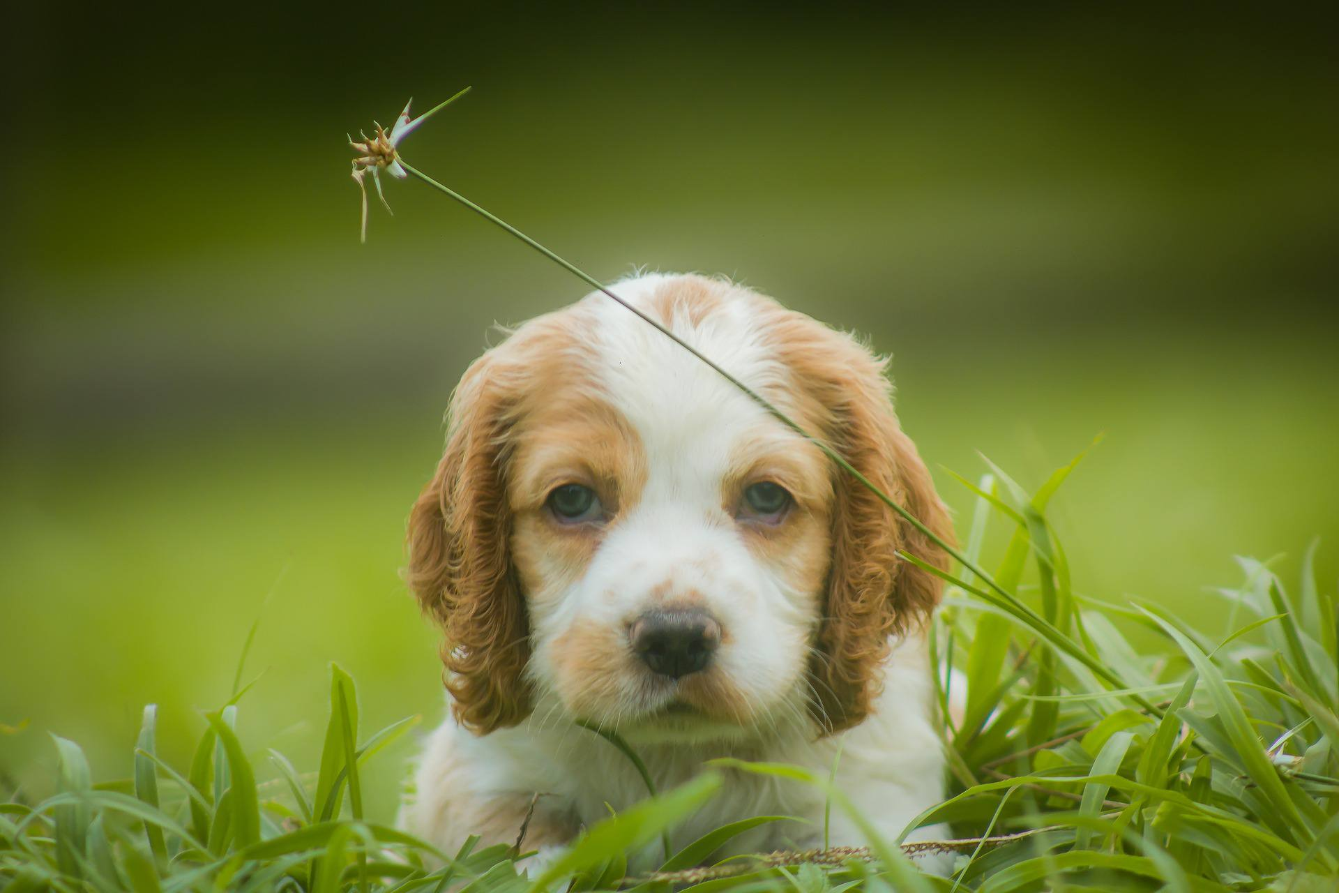 A cocker spaniel puppy looking into the camera.