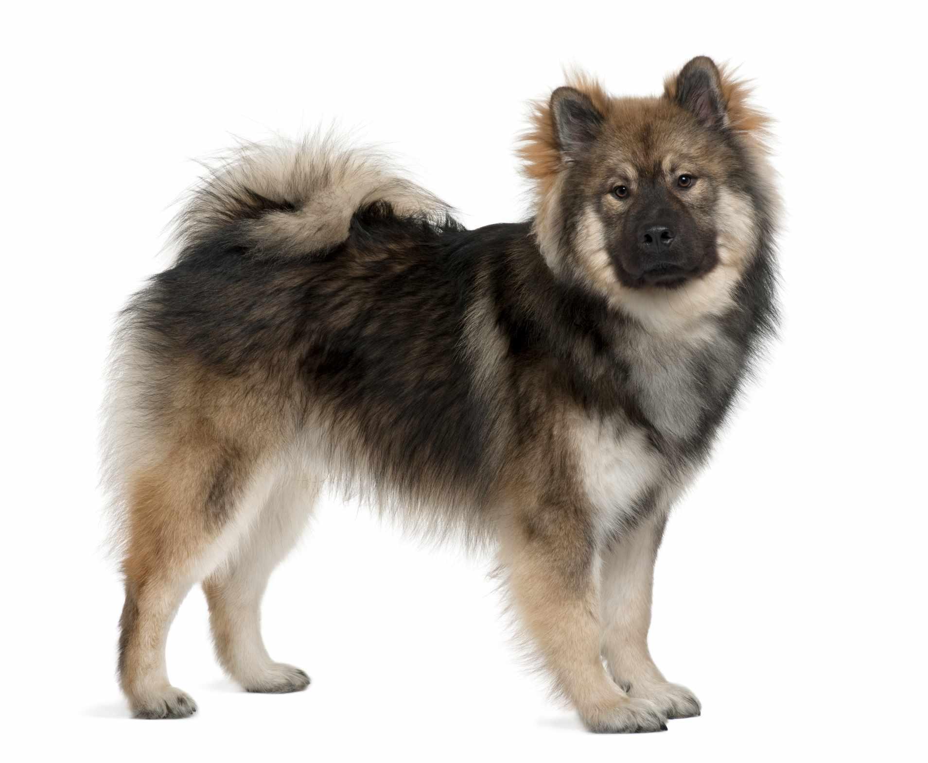 Adult Eurasier dog