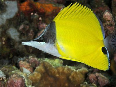 Moorish Idol Fish Breed Profile