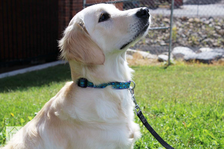 LupinePet Dog Collar