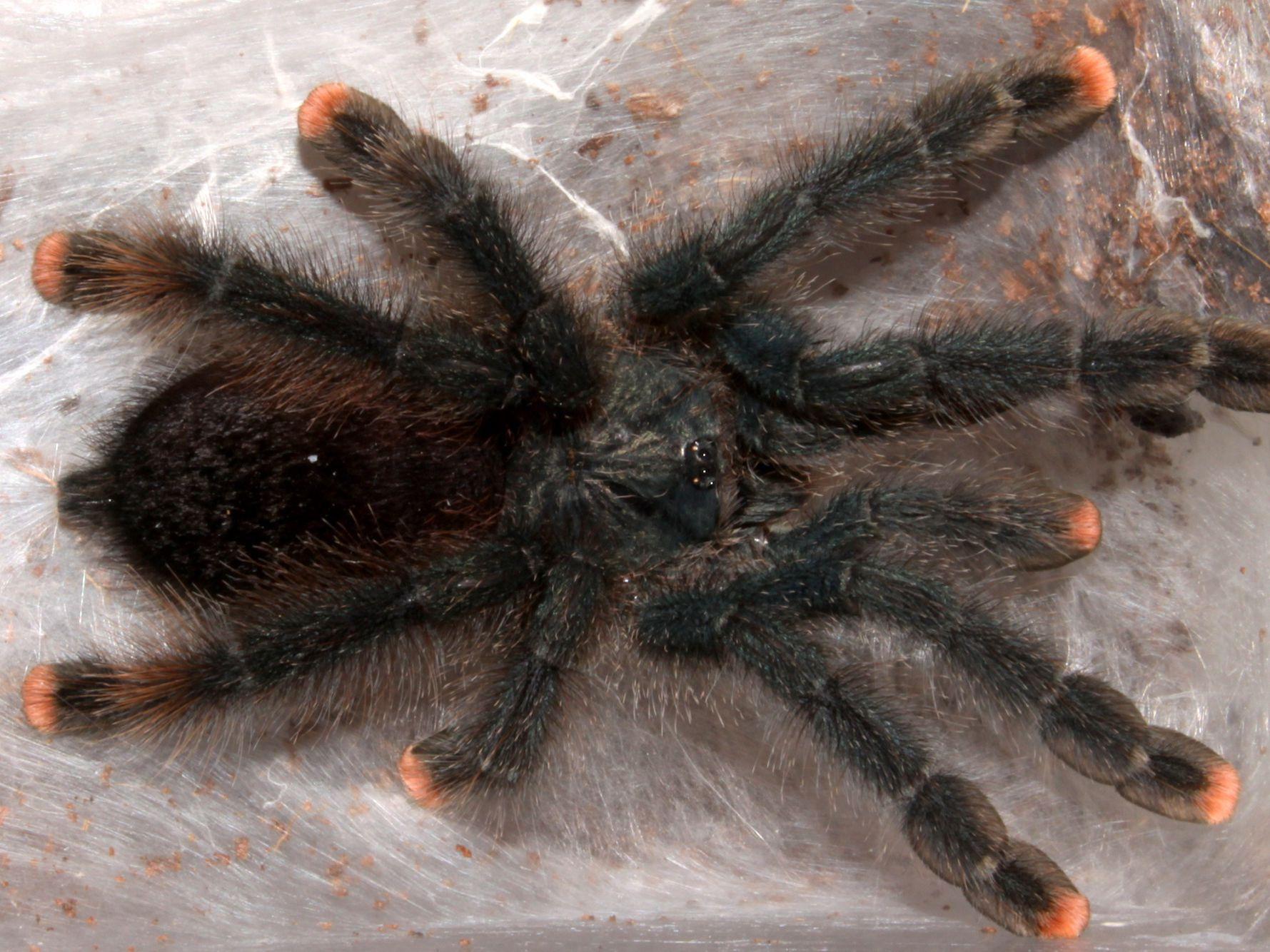 Keeping And Caring For Pink Toe Tarantulas As Pets