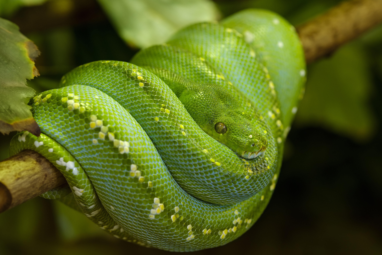 Pitón de árbol verde (Morelia viridis), cautivo