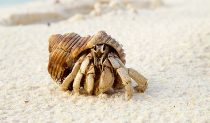 Hermit Crab (Anomura spp) on the sea shore.Cousine Island.Seychelles