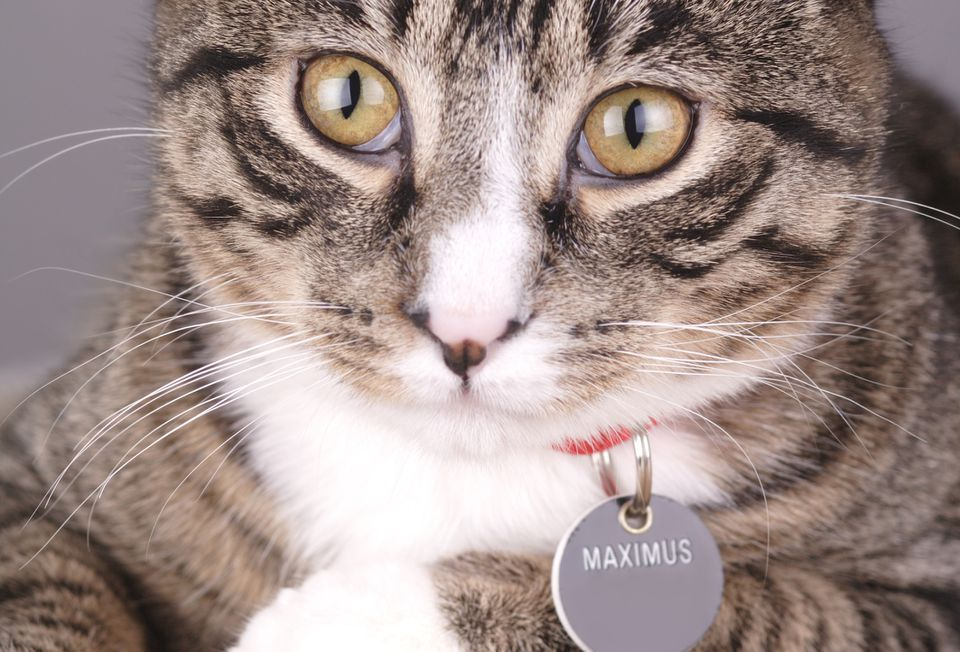 Cat with an Id Tag showing