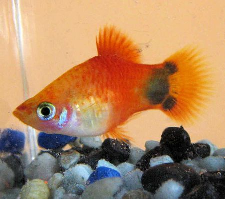 Mickey Mouse Platy Fish Breed Profile