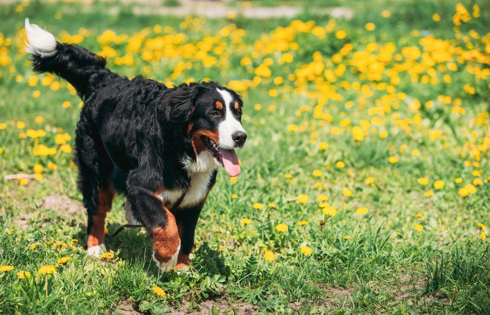 Bernese Mountain Dog Berner Sennenhund Play Outdoor In Green Spring Meadow With Yellow Flowers. Playful Pet Outdoors. Bernese Cattle Dog