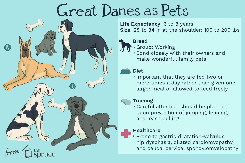 great danes as pets illustration