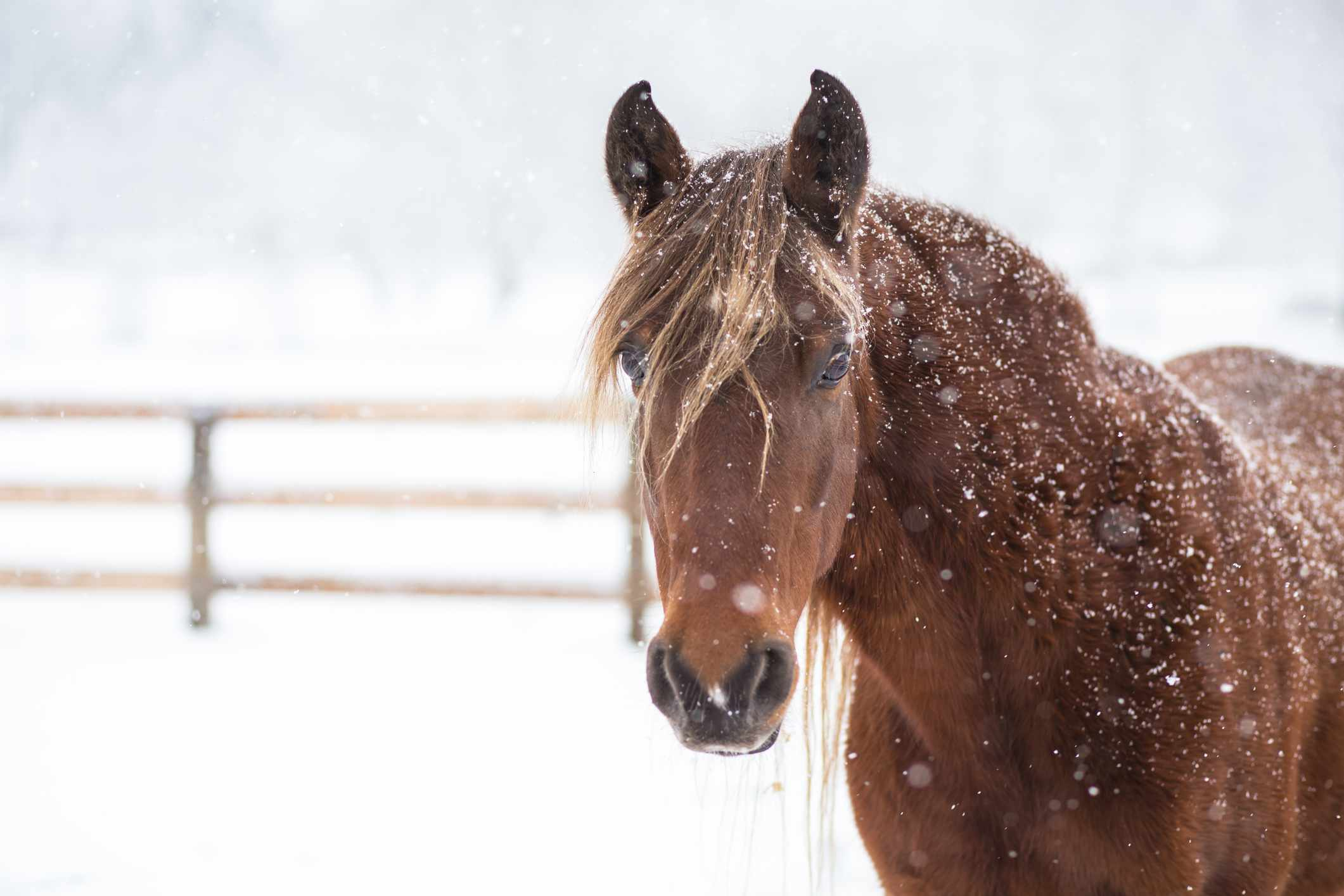 Chestnut Rocky Mountain Horse in the snow