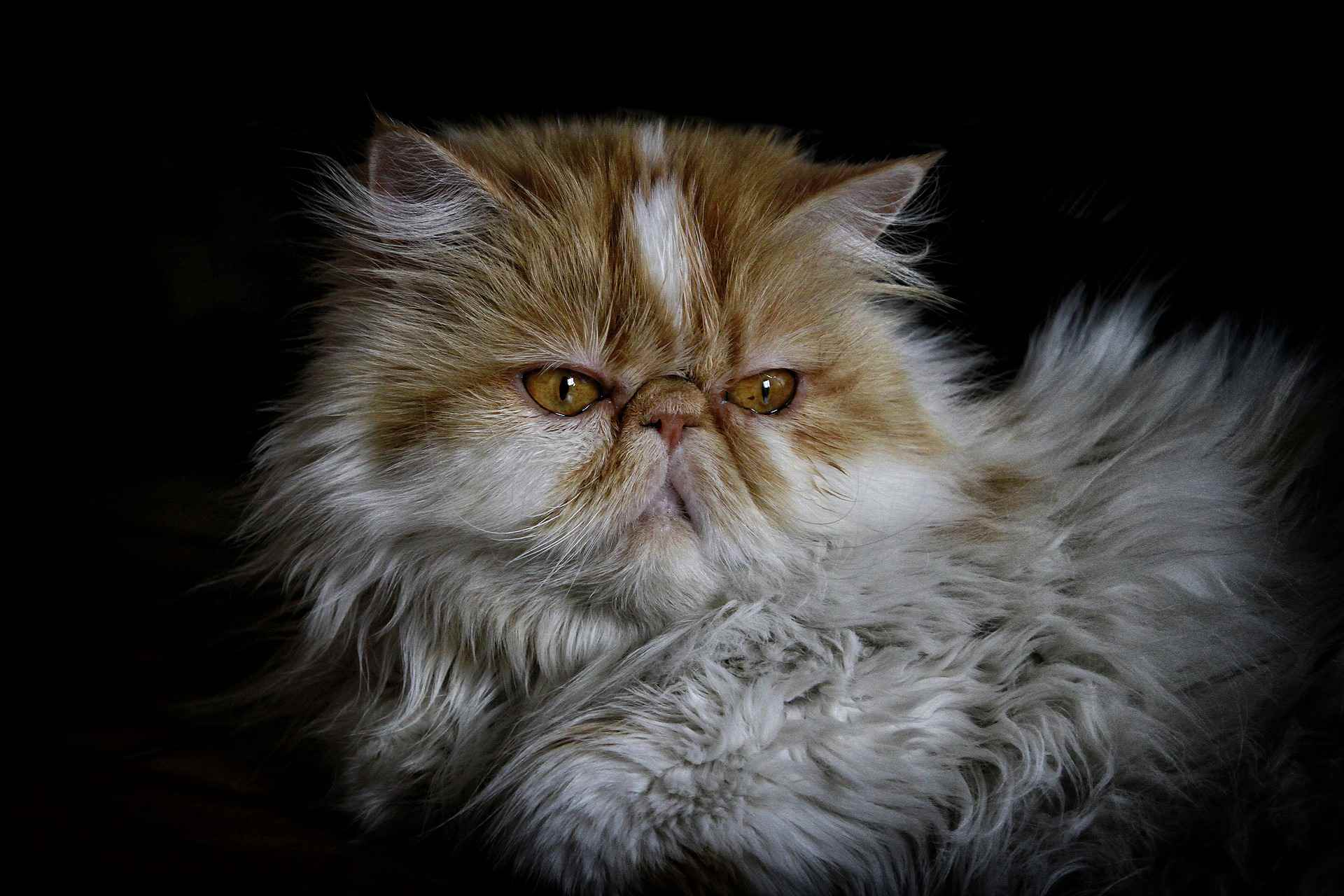 An orange and white Persian cat against a black background.