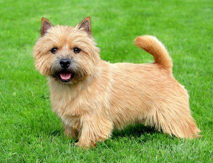 norwich terrier posing in green grass