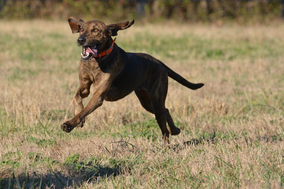 Jumping plott hound, Easton, Pennsylvania, USA