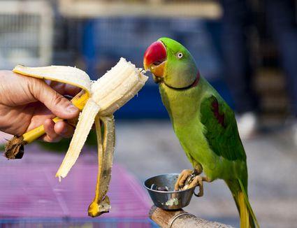 A hand feeding a banana to a parrot