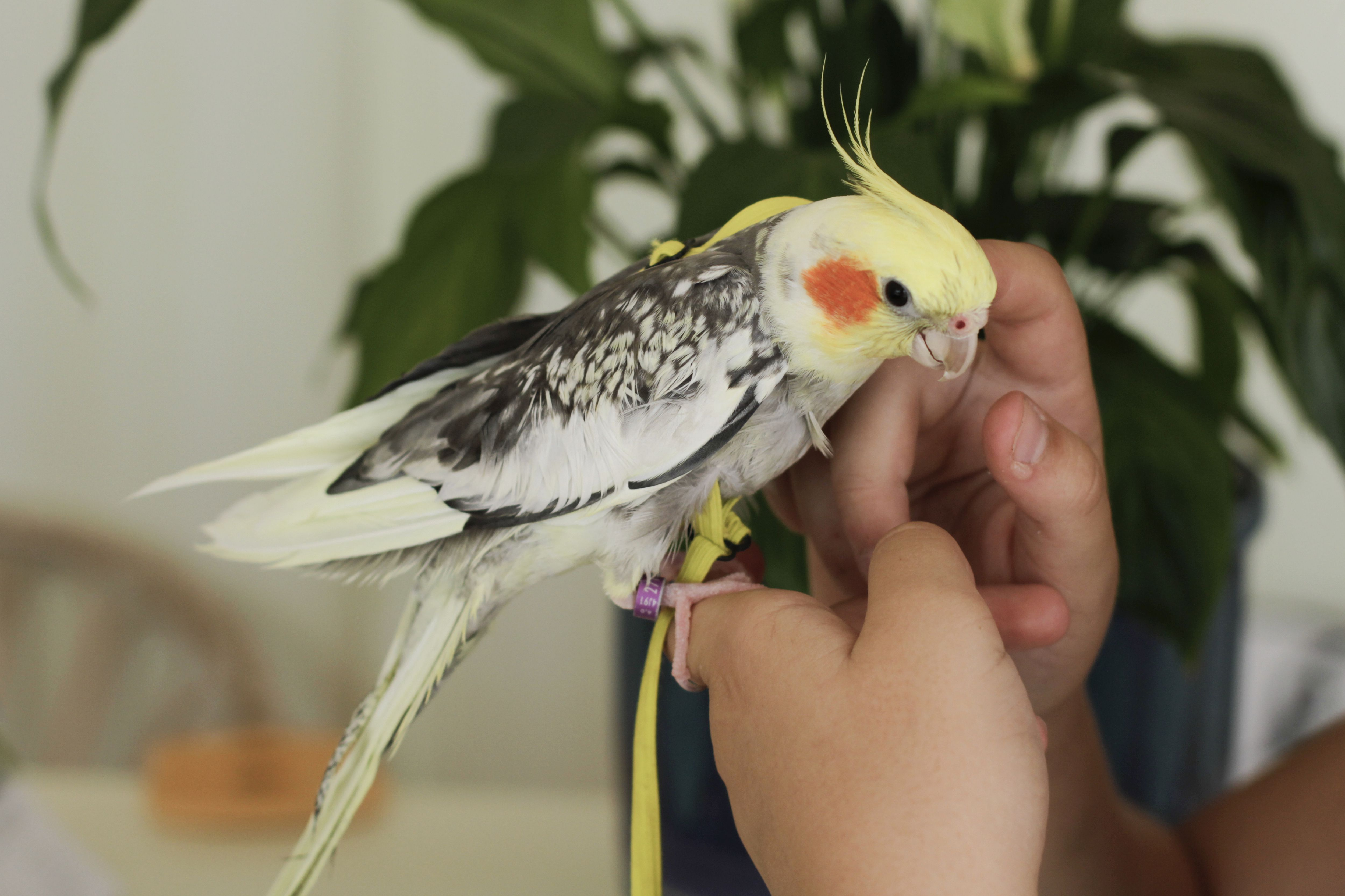 Woman holding cockatiel on hands