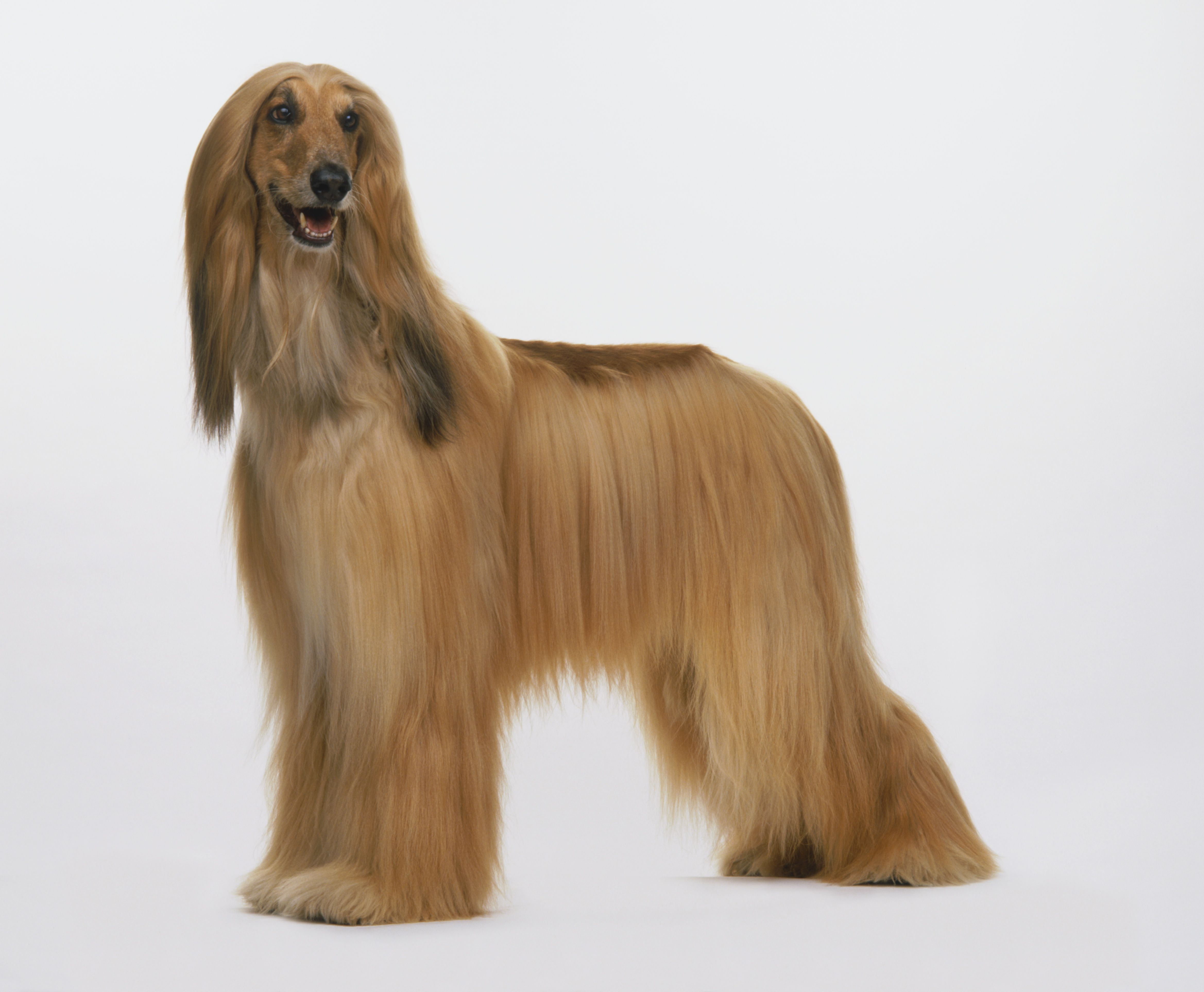 Afghan Hound (Canis familiaris) standing, facing forward, side view