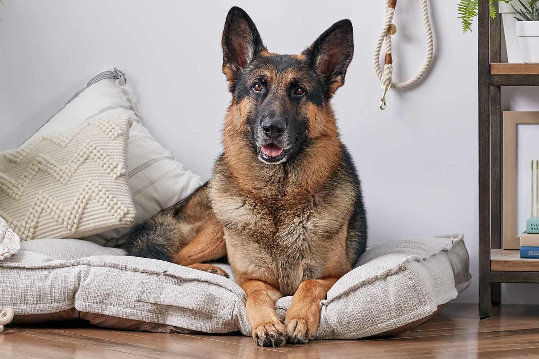German shepherd lying on a dog bed
