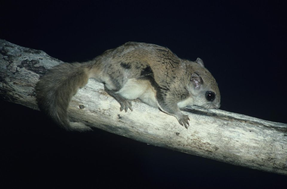Flying squirrel on tree, North America