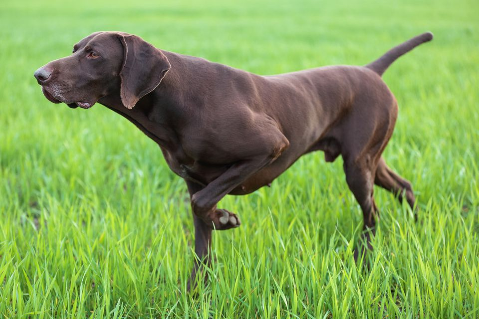 German Shorthaired Pointer pointing in a grassy field