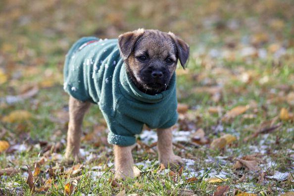 Puppy Border Terrier