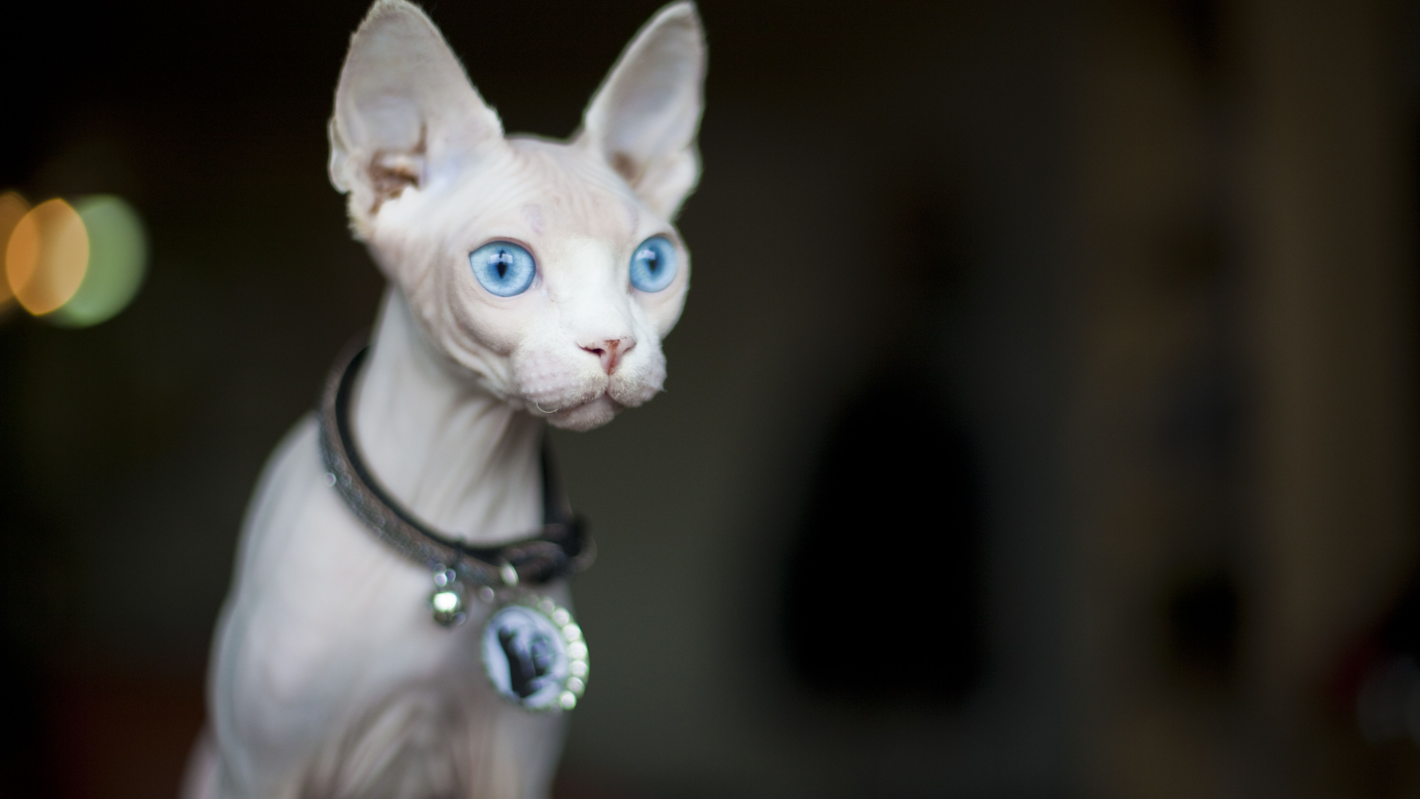 Sphynx Cat Full Profile History And Care