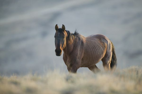 Gaunt Wild Horse on the Range