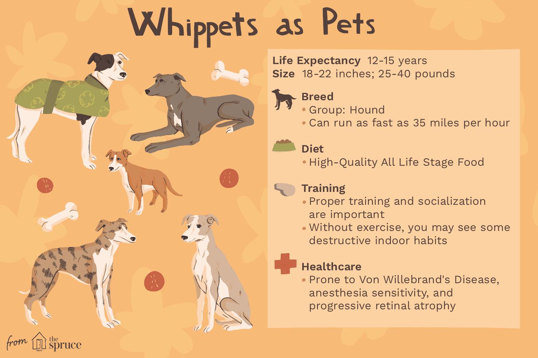 whippets como ilustración de mascotas