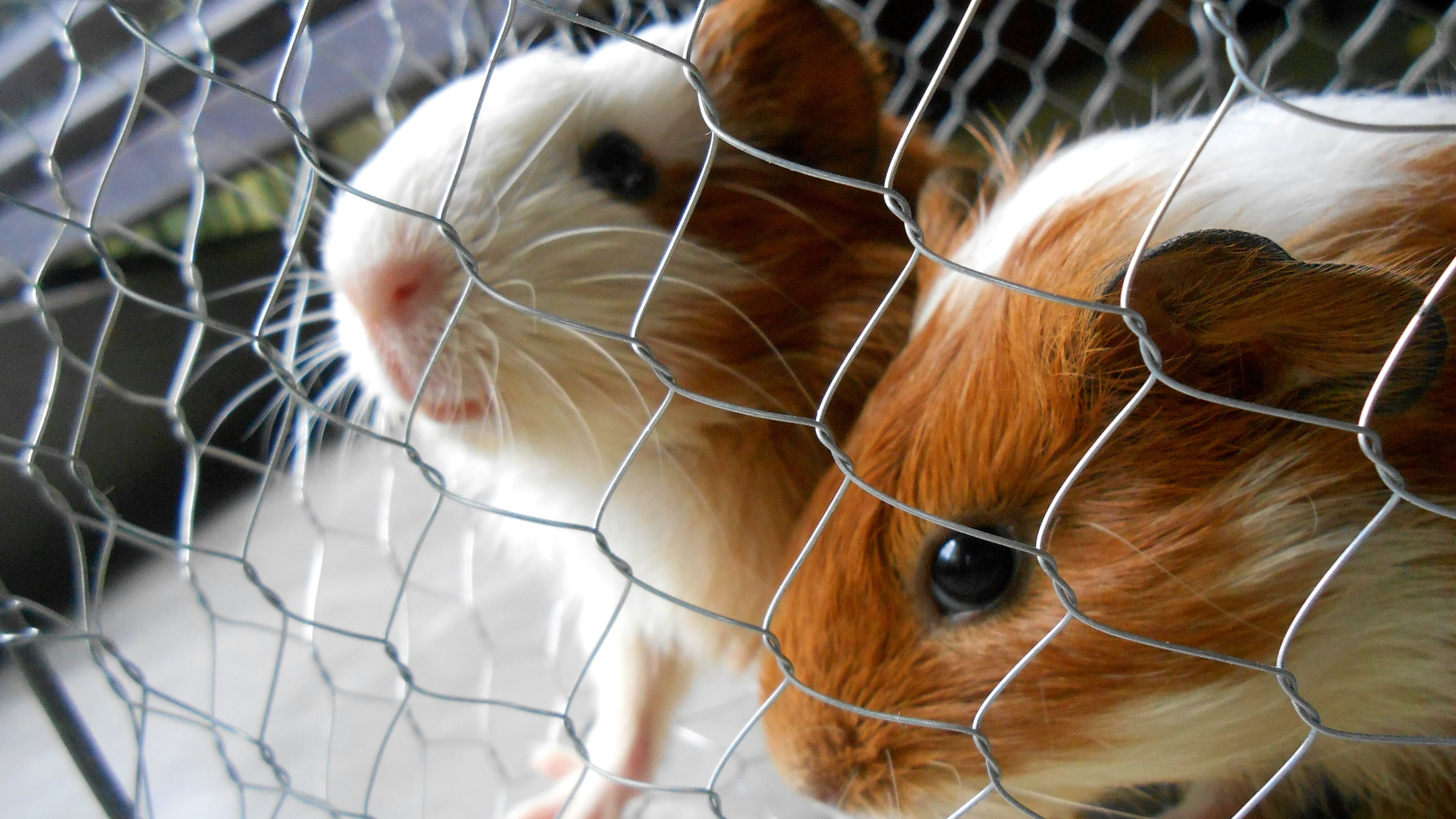 Close-up of guinea pigs in cage