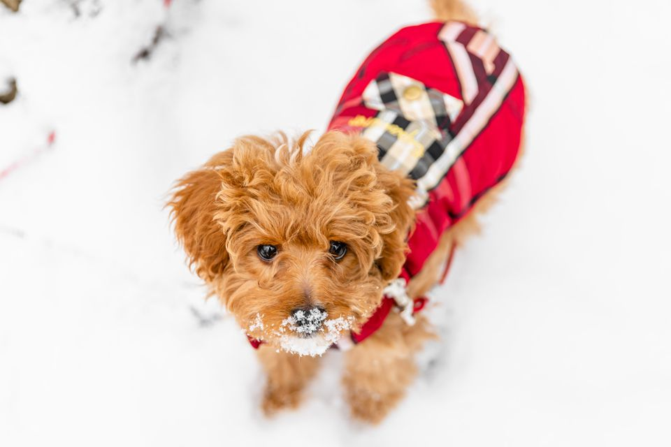 Light brown fluffy dog wearing a red sweater with nose covered in snow