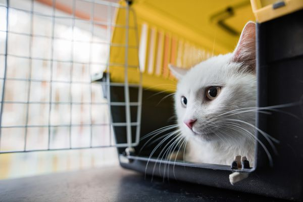 White cat in a carrier