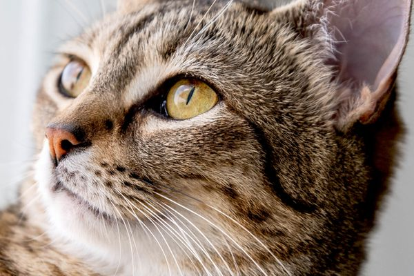 Tabby cat's face with yellow eyes closeup
