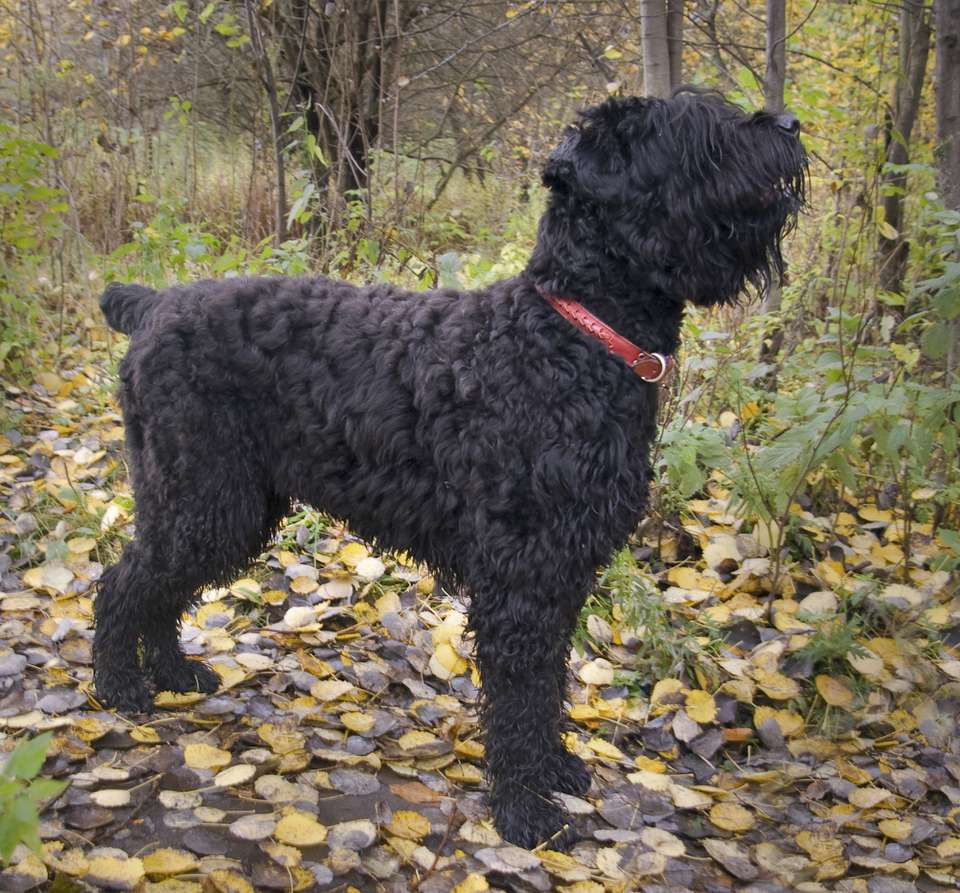 Adult black Russian terrier outside