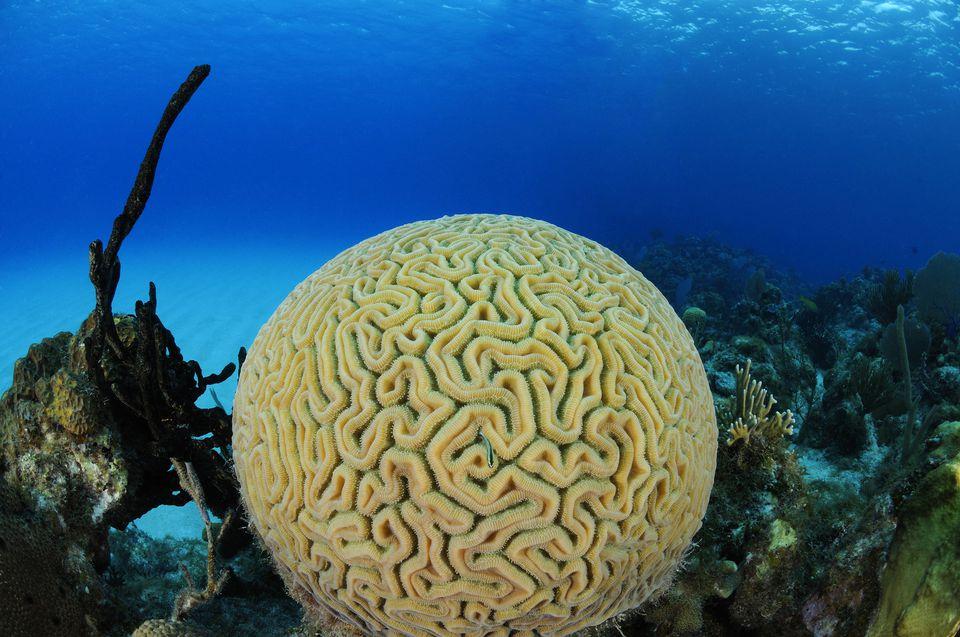 Un cerebro coral.