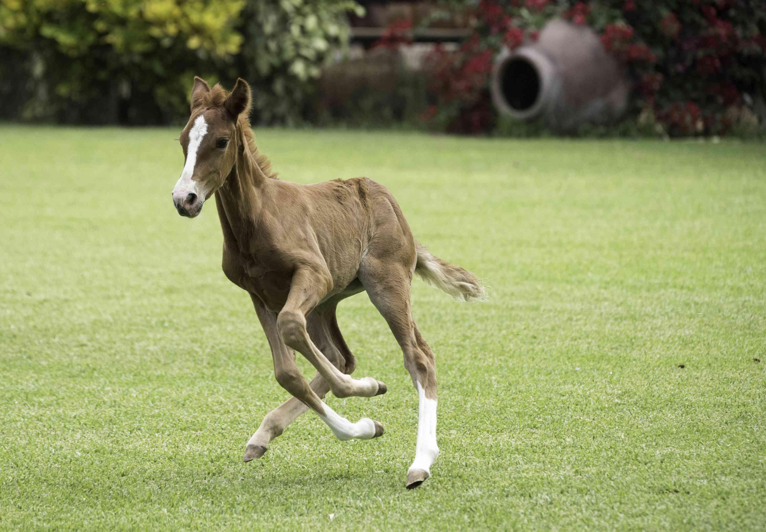 Paso Fino Horse Full Profile History And Care