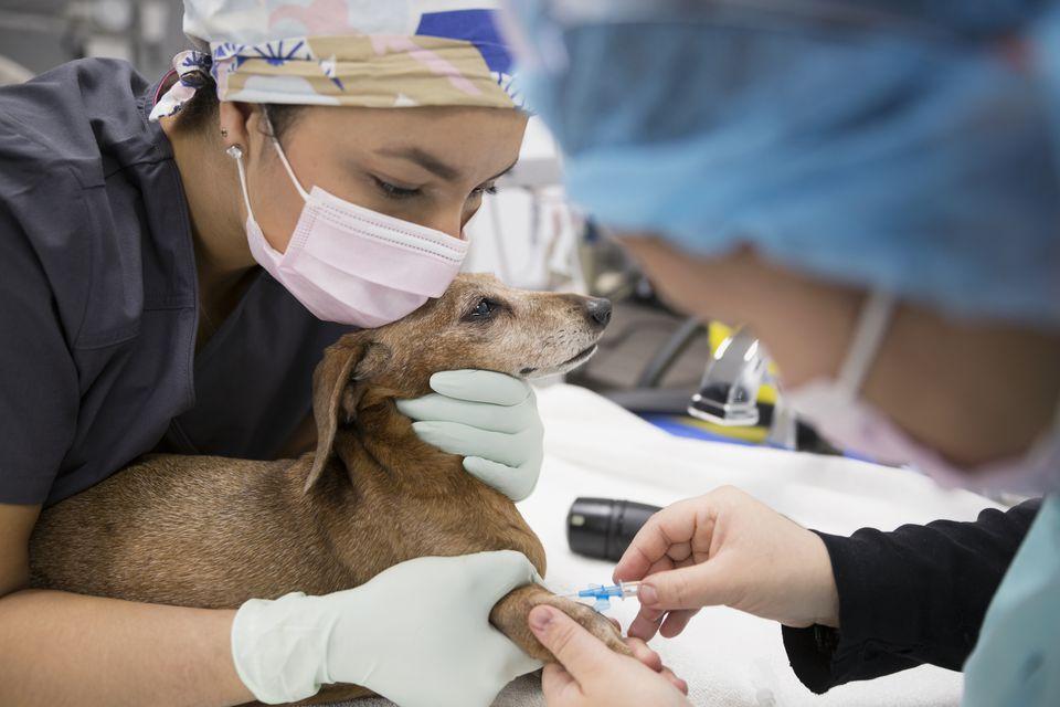 Veterinario inyectando perro pequeño en una clínica