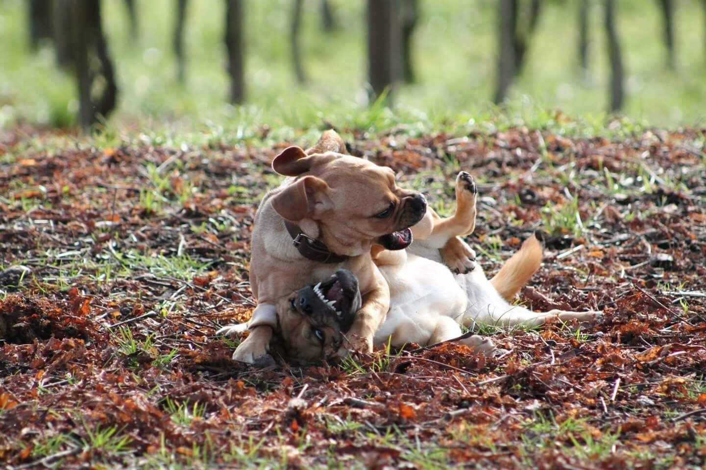 Cachorros agresivos