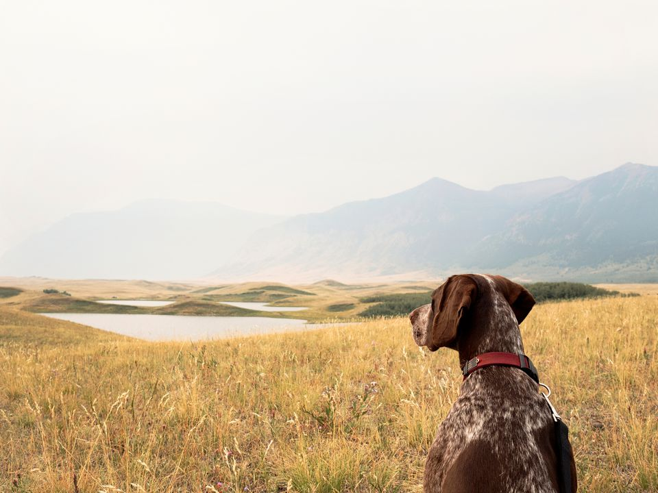 A German Pointer on a mountainside hike