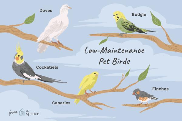 Low-maintenance pet birds species