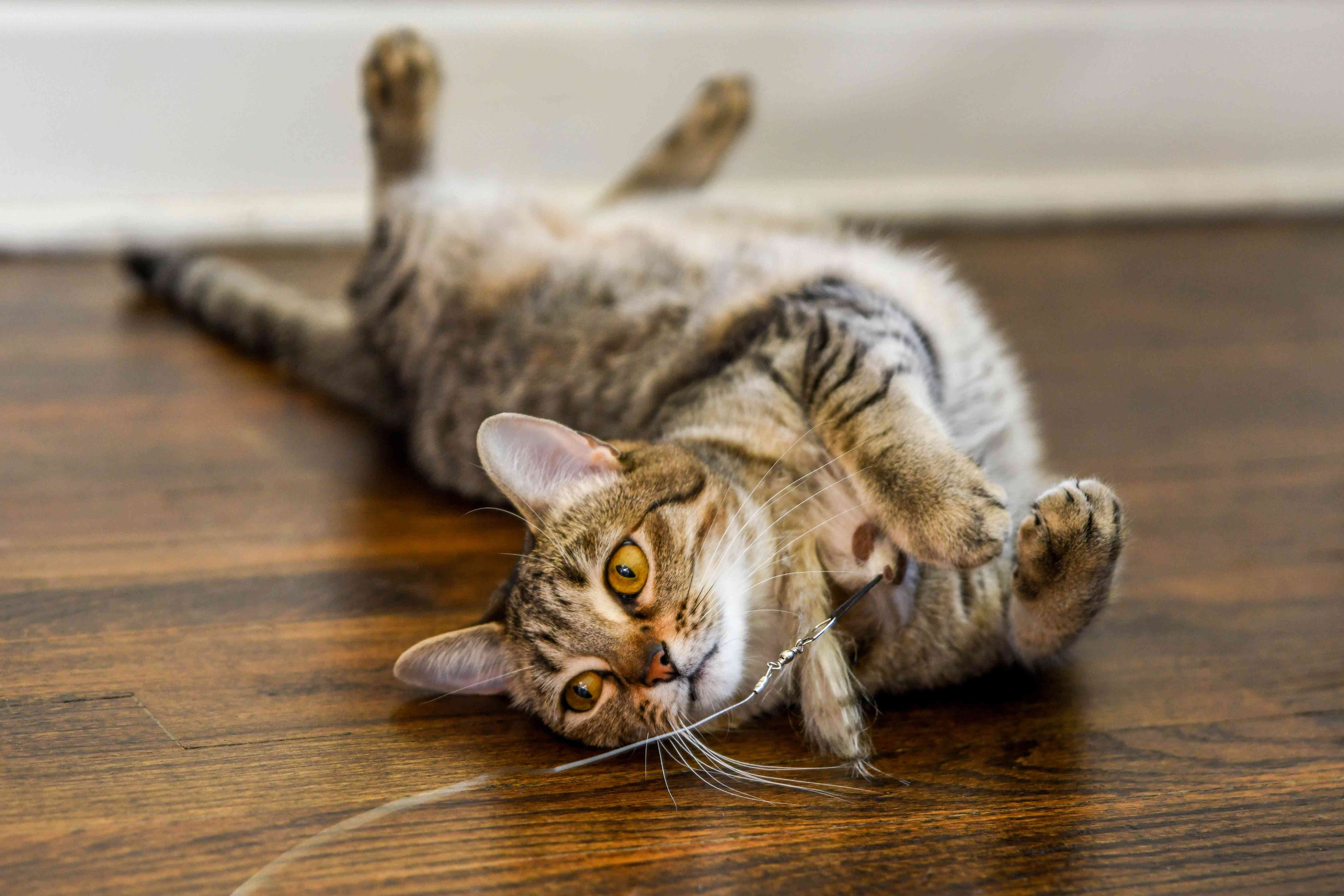 Cat upside down on floor playing with toy