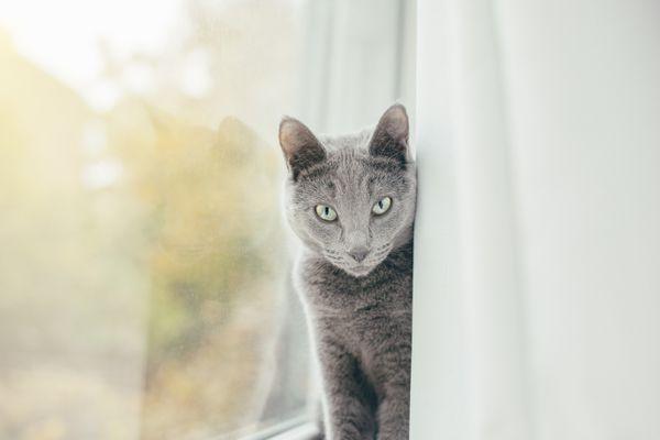 Russian blue cat peeking from behind curtain