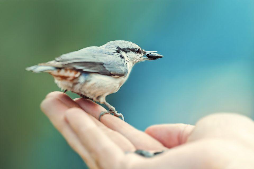 Nuthatch Bird eats seeds of sunflower on a human hand