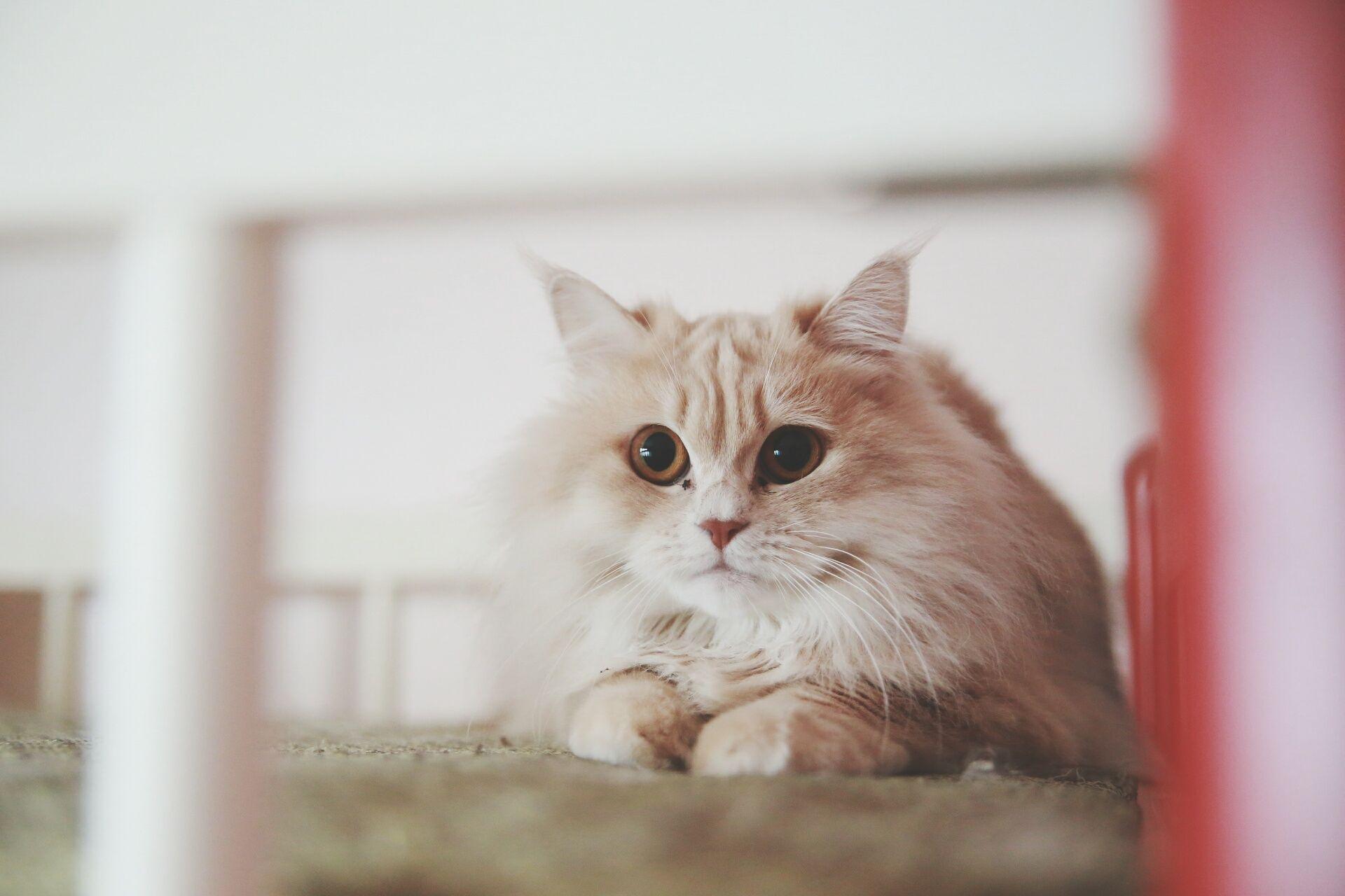 A Turkish Angora cat looking into the camera.