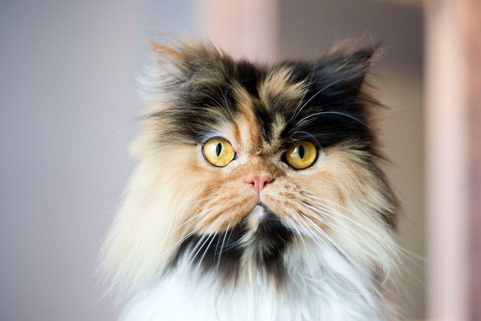 Cerca de un gato calico