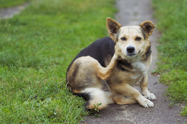 Dog scratching its neck